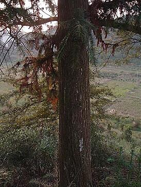 chinese_cedar_tree.jpg